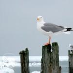 Zima nad morzem - Mewa na falochronie