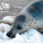 Zima nad morzem - Foka Depka na brzegu morza