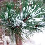 Zima nad Bałtykiem - Sosnowy las w Pobierowie