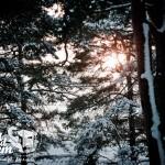 Zima nad morzem - Las sosnowy