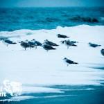Zima nad Bałtykiem - Mewy na białej plaży
