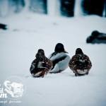 Zima nad Bałtykiem - Kaczki na białej plaży